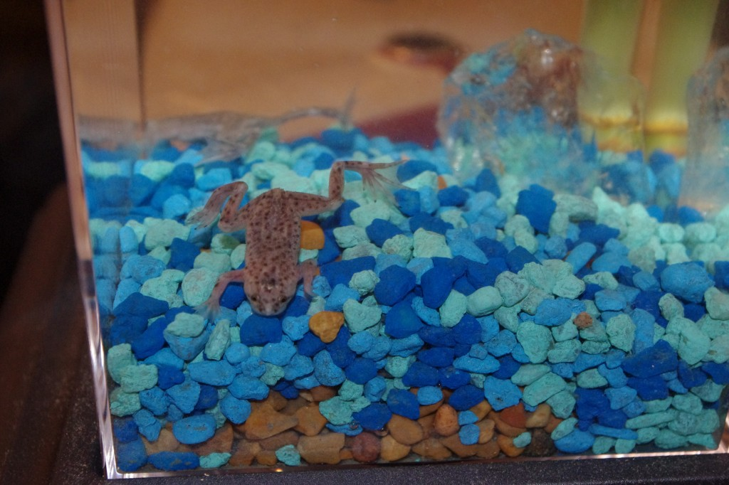African Dwarf Frog Eco Aquarium From Wild Creations Giveaway