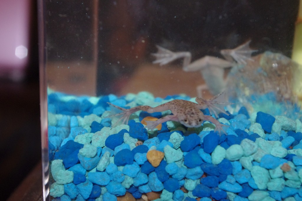 African dwarf frog eco aquarium from wild creations for Eco fish tank